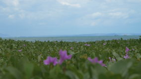 A large field of small purple flowers near the ocean. And water stock video footage