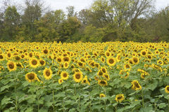 Large field of sunflowers in bloom. Royalty Free Stock Photo