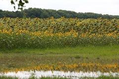 Ukraine, Kiev. A large field of sunflowers is reflected in the lake. A large field of sunflowers is reflected in the lake. Yellow blooming sunflower. Reflection stock image