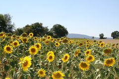 A LARGE FIELD OF SUNFLOWERS ON A SUNNY DAY. A LARGE FIELD OF SUNFLOWER PLANTS, ON A SUNNY DAY IN THE MOUNTAINS OF NORTHERN ITALY Royalty Free Stock Photos
