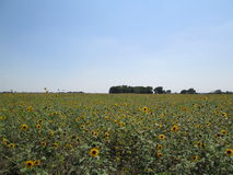 Large Field of Sunflowers Royalty Free Stock Photography