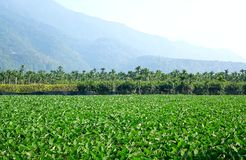 Large Field with Taro Plants. A large field planted with taro in southern Taiwan royalty free stock image