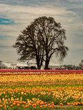 Large field of tulips with tree. Large field of tulips grow in the Wooden Shoe tulip garden in Oregon with a silhouette of an adjacent tree on a partially cloudy stock photography