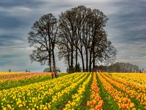 Large field of tulips with tree. Large field of tulips grow in the Wooden Shoe tulip garden in Oregon with a silhouette of an adjacent tree on a partially cloudy stock images