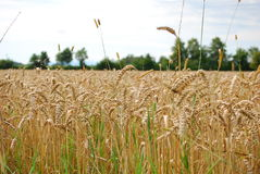 Large field of wheat under blue sky. A large field of wheat grows under blue skies Royalty Free Stock Images