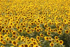 A field full of yellow sunflowers in the countryside in summer stock photography