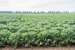 Large field with young Brussels sprout plants Stock Image