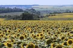 Large fields of the blooming sunflowers on a summer sunny day. Typical Ukrainian farm landscape stock photography