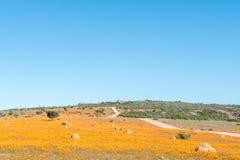 Large fields of indigenous orange daisies Stock Photo
