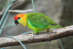 Large fig parrot Royalty Free Stock Image