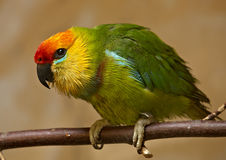 Large Fig Parrot (Psittaculirostris desmarestii) Stock Images