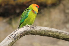 Large fig parrot Stock Image