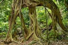 Large fig tree roots Stock Photo