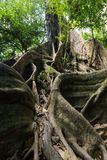 Large fig tree roots. Large fig tree trunk and roots in tropical rainforest, Khao Sok national park, Thailand Stock Image