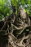 Large fig tree Royalty Free Stock Images