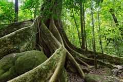 Large fig tree. Trunk and roots in tropical rainforest, Khao Yai national park, Thailand Royalty Free Stock Images