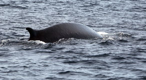 Large Fin Whale. A large fin whale in the Pacific Ocean near San Diego. Fin whales are the second largest animals on earth stock photography