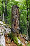 Large fir snag. Large standing dead tree full of wood decay fungi is important part of forest ecosystem Royalty Free Stock Image