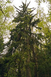 Large fir. Large spruce among deciduous trees in early spring Royalty Free Stock Images