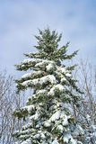 Large fir tree covered with snow Stock Photos