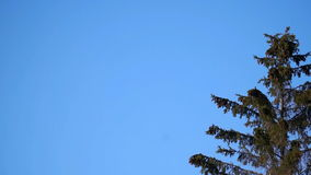 Large fir wind sways against the blue sky stock footage