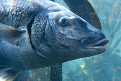 Large fish in bubbles Stock Photography