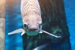 Large fish in a marine aquarium close-up view.  royalty free stock photos