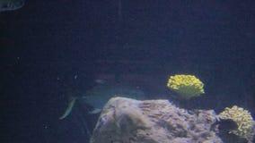 Large fish swimming through coral. Large fish swimming through colorfull coral stock video footage