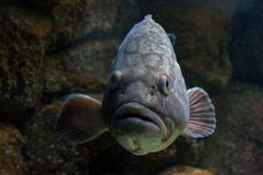 Large fish underwater. Large sea fish underewater close up stock images