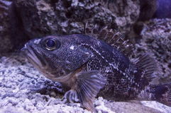 Large fish underwater Stock Images