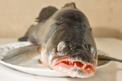 Large fish zander lying on a platter Royalty Free Stock Photography