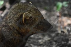 Angry Looking Fisher Cat Seen in Close Up. Large Fisher Cat with Angry Disposition royalty free stock image