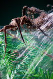 Large Fishing Spider in Web Nest with Babies Stock Photography