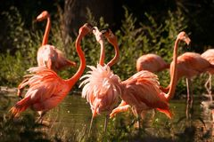 Large flamingo birds fight with their beaks Stock Image