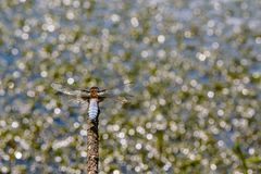 Large flat dragonfly sits on a branch on the background of water stock photo
