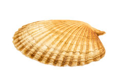 Large flat shell Stock Images