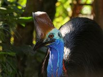 Cassowary Royalty Free Stock Photos