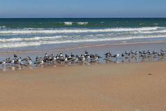 Large Flock of Seagulls Standing on the Beach Royalty Free Stock Photography