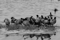 American Coot Convention royalty free stock image