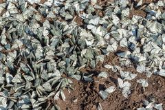 Large flock of Aporia crataegi the black-veined white family Pieridae on the ground. Invasion pest and crop destruction royalty free stock images