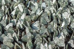 Large flock of Aporia crataegi the black-veined white family Pieridae on the ground. Invasion pest and crop destruction stock images