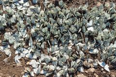 Large flock of Aporia crataegi the black-veined white family Pieridae on the ground. Invasion pest and crop destruction royalty free stock photo