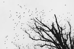 Large flock of birds against grey sky and leafless trees. Large flock of birds against grey sky and leafless tree silhouette in the bottom right corner. Black stock photo
