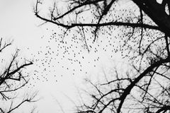 Large flock of birds against grey sky and leafless trees. Large flock of birds against grey sky and leafless tree silhouettes. Black and white royalty free stock photo