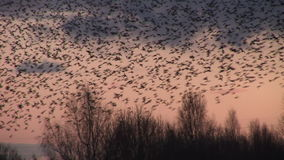 Large flock of black birds starlings fly low over trees close up shot. Large flock of birds fly out of trees and low stock footage