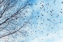 Large flock of birds is flying Stock Image