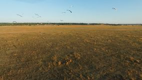 Large flock of birds flying over field stock video footage