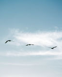 Flock of Pelicans flying in formation in bright blue sky. Large flock of birds flying in v formation as the migrate. Backgorund of bright blue skies Stock Image