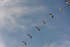 Flock of Pelicans flying in formation in bright blue sky. Large flock of birds flying in v formation as the migrate. Backgorund of bright blue skies stock images