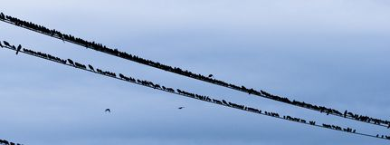 Large Flock Birds Gather Evening Telephone Electrical Wires. Birds come together for socializing late afternoon urban area electrical lines royalty free stock image